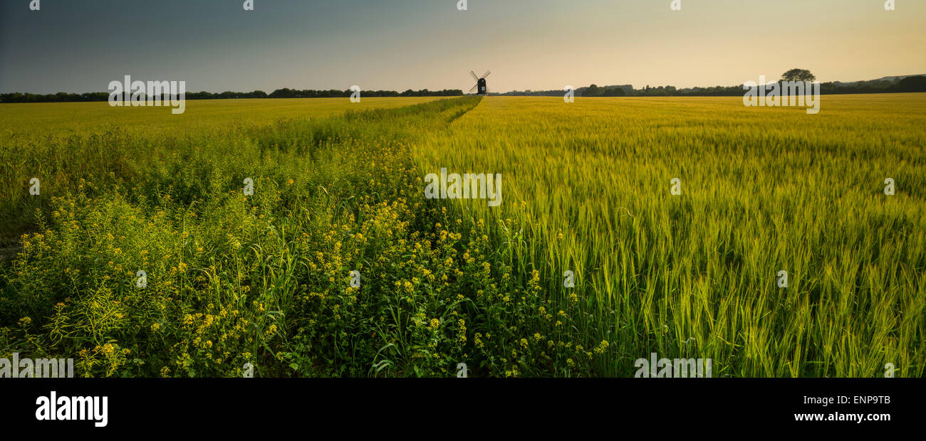 wheat field, with windmill, tring - Stock Image