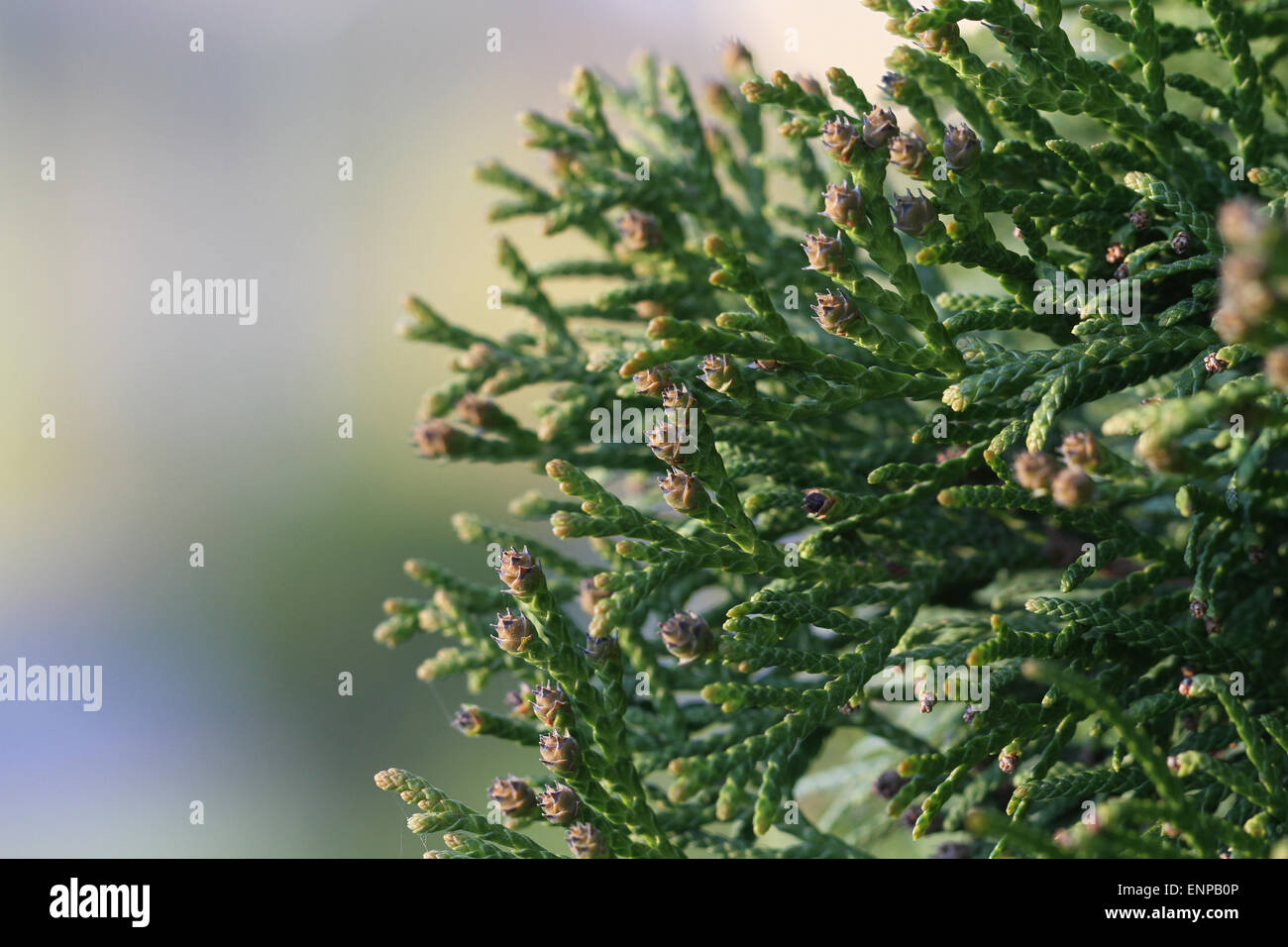 Swelled buds on thuya. Closeup of Thuja twig with soft background Stock Photo