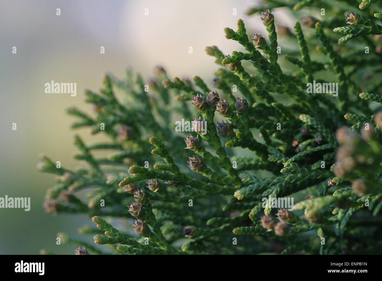 Swelled buds on thuya. Closeup of Thuja twig with soft background - Stock Image