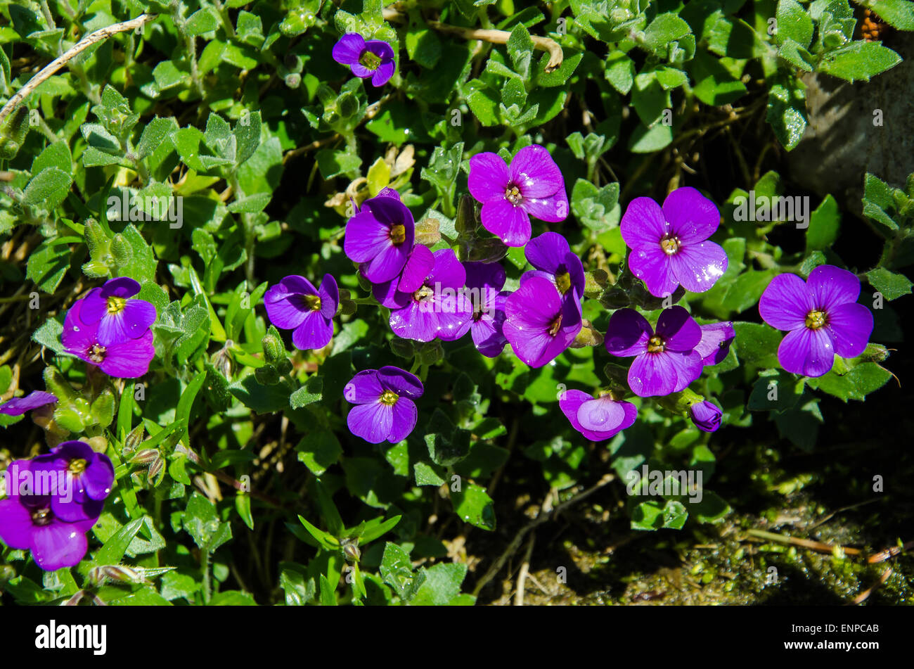 Growing pansies will provide year-round blooms in your garden. These dainty, delicate flowers include winter-flowering - Stock Image