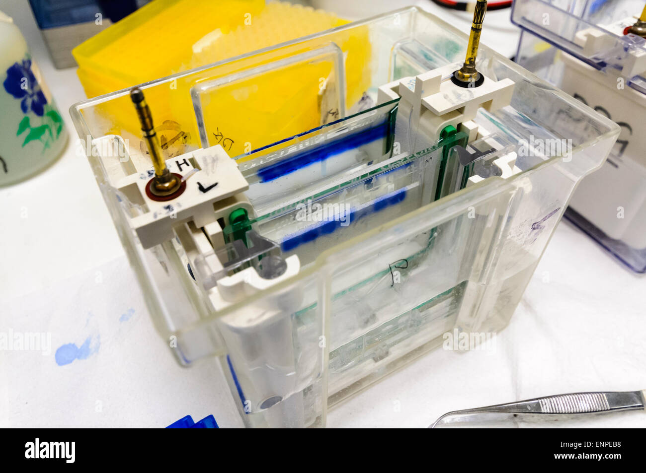 Western Blotting (blot, protein immunoblot) tank with samples loaded in a cancer research laboratory - Stock Image