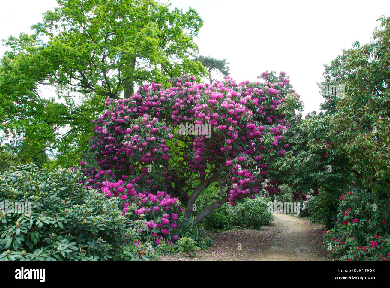 Superb azaleas and rhododendrons at the Langley Country Park, Buckinghamshire - Stock Image