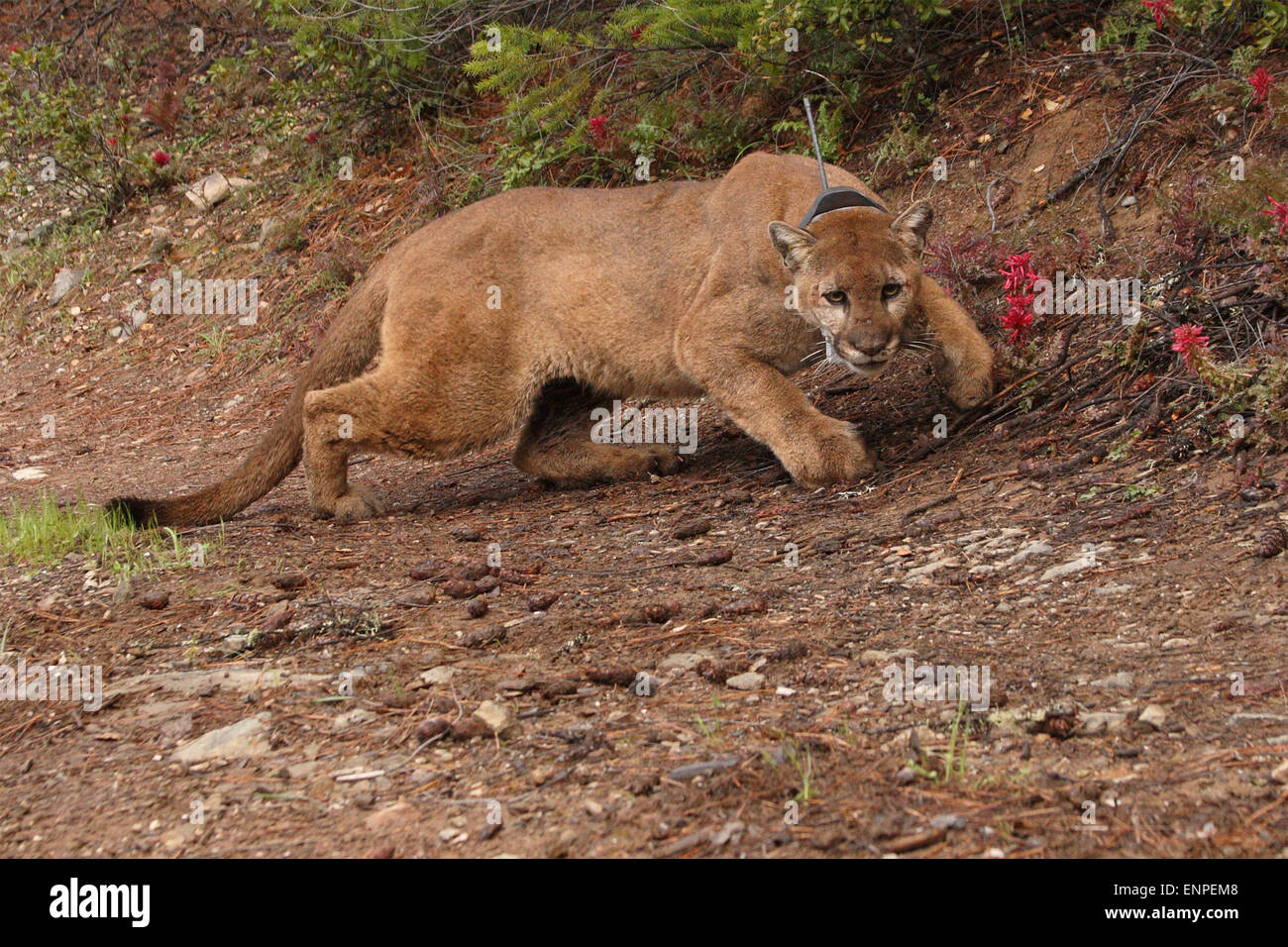 A puma, also known as a mountain lion or cougar, coming closer. - Stock Image