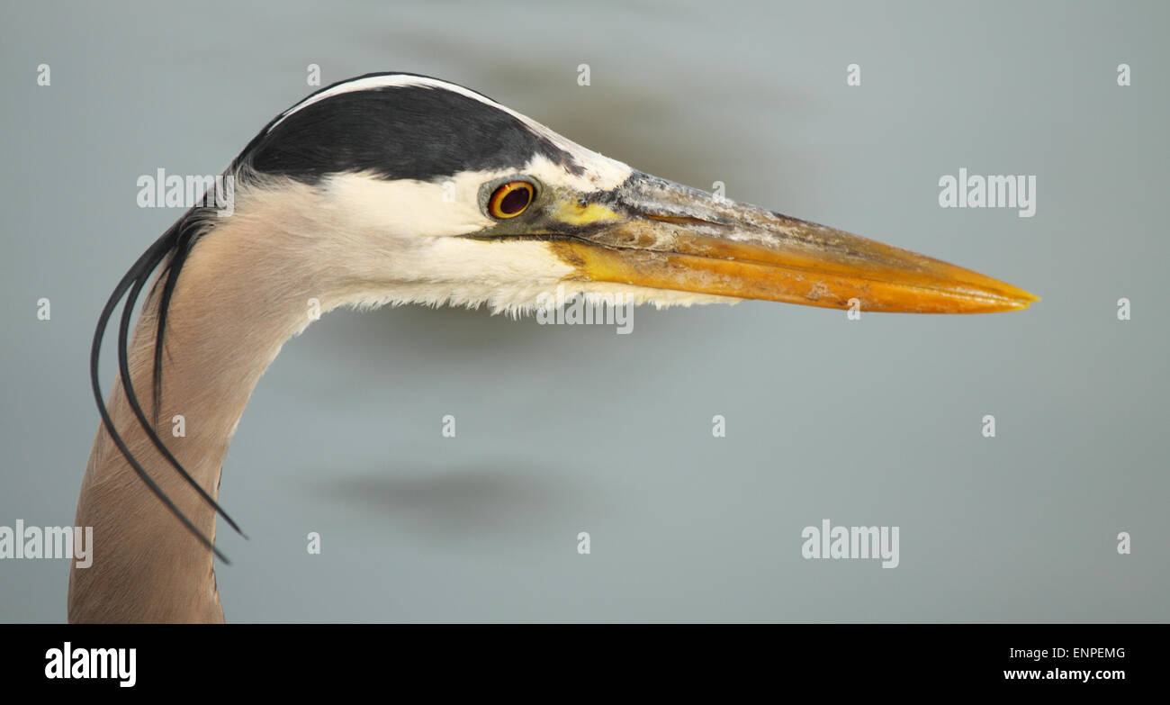 A portrait of a Great Blue Heron with windswept plumes. - Stock Image