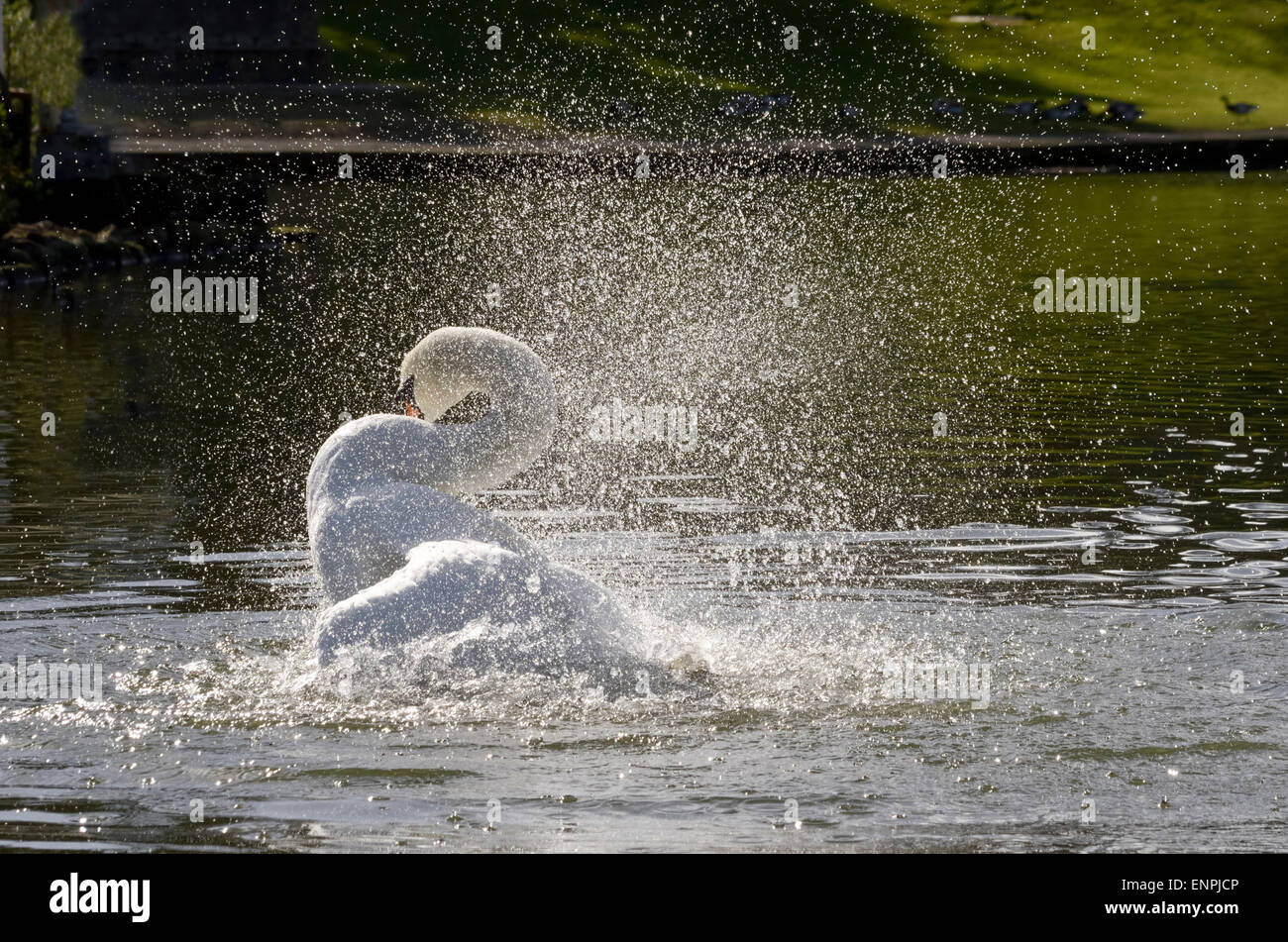 Swan bathes in pond throwing out water spray and droplets which are illuminated by the sun. - Stock Image