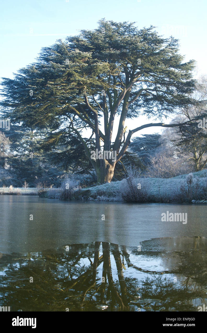 Frosted Cedar tree reflected in partly frozen lake - Stock Image