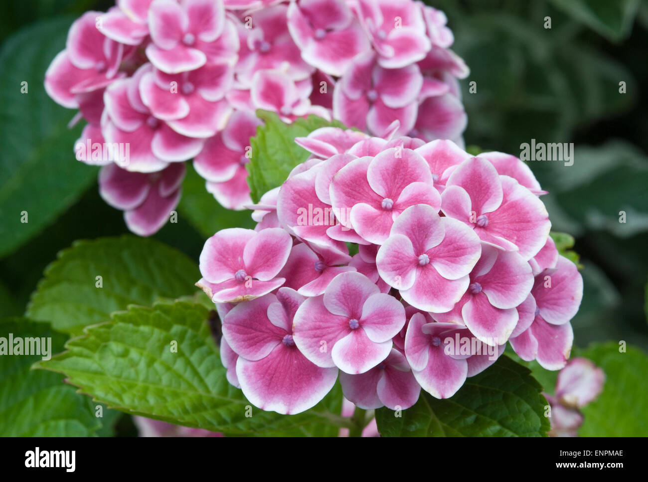 Hydrangea macrophylla 'Buttons 'n Bows' - Stock Image