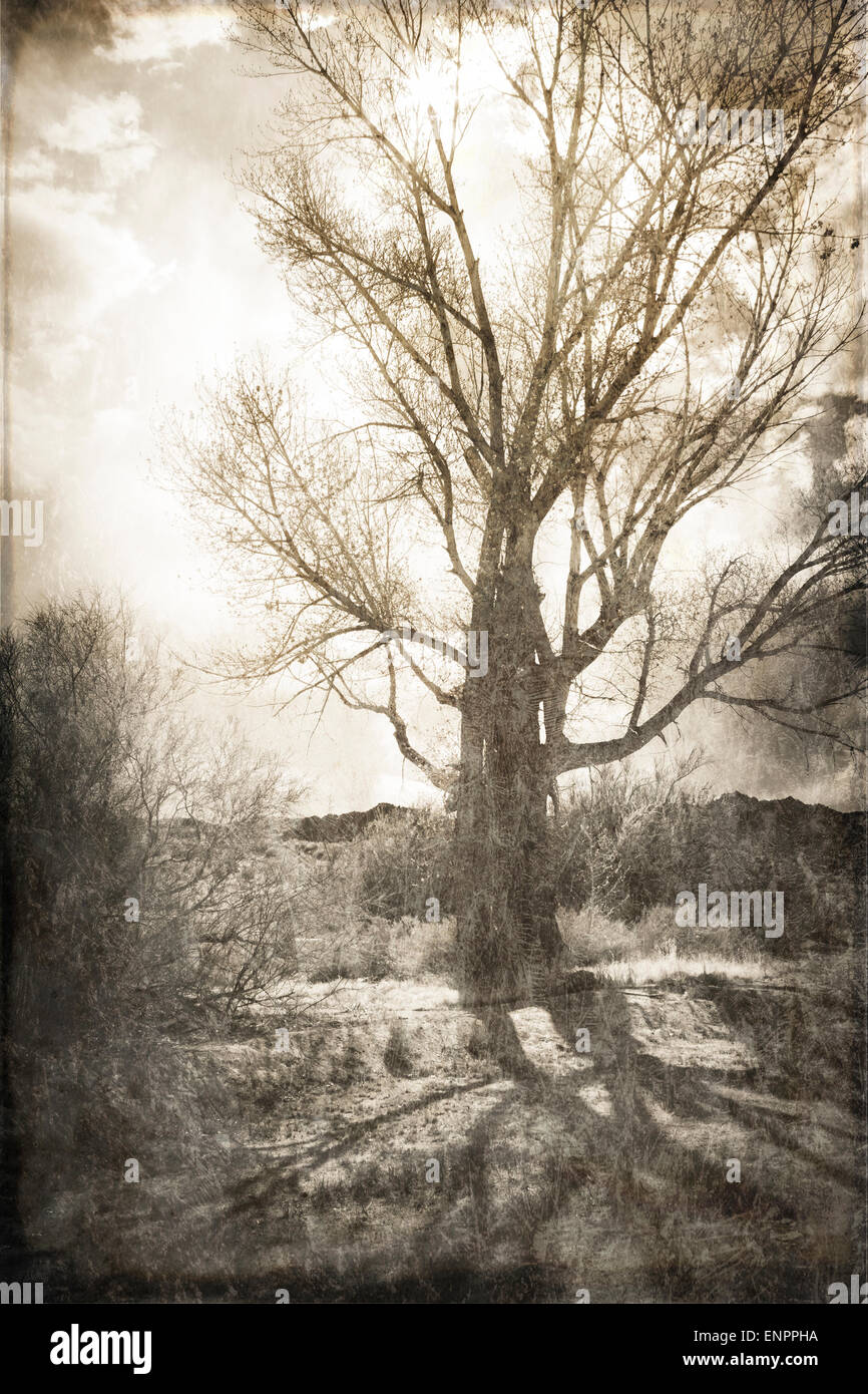 Cottonwood tree in California's high desert backlit with clouds and shadows processed with texture overlay for - Stock Image