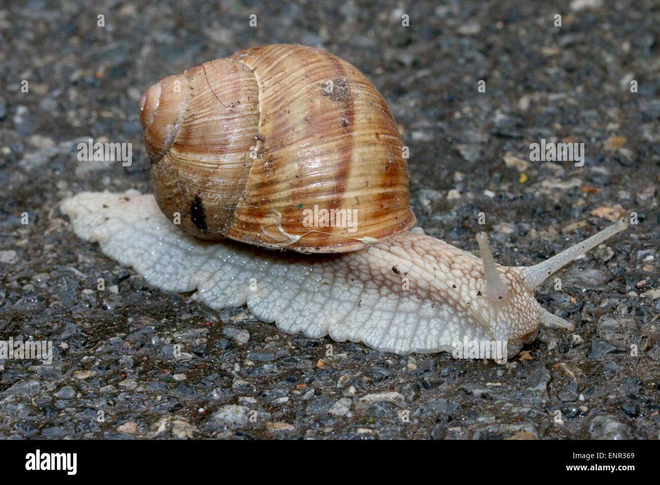 Snail on the asphalt, closeup shot. Stock Photo