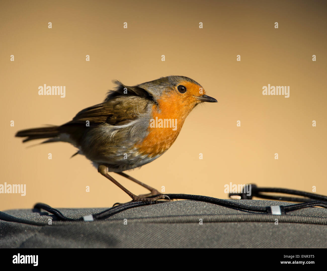 Tame Robin siting on a bag rucksack - Stock Image