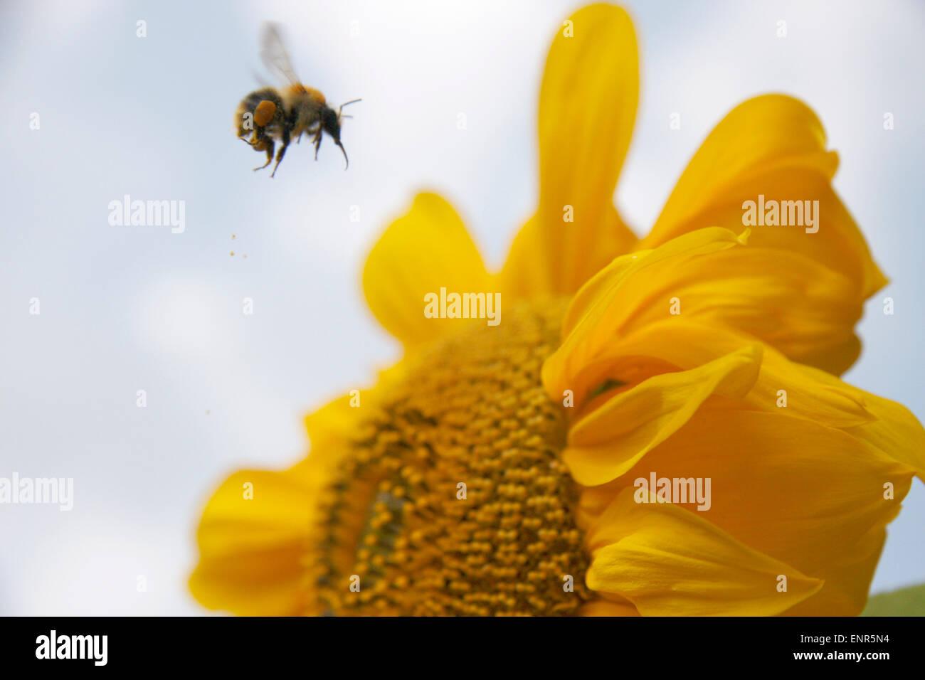 Hummel, Sonnenblume. - Stock Image