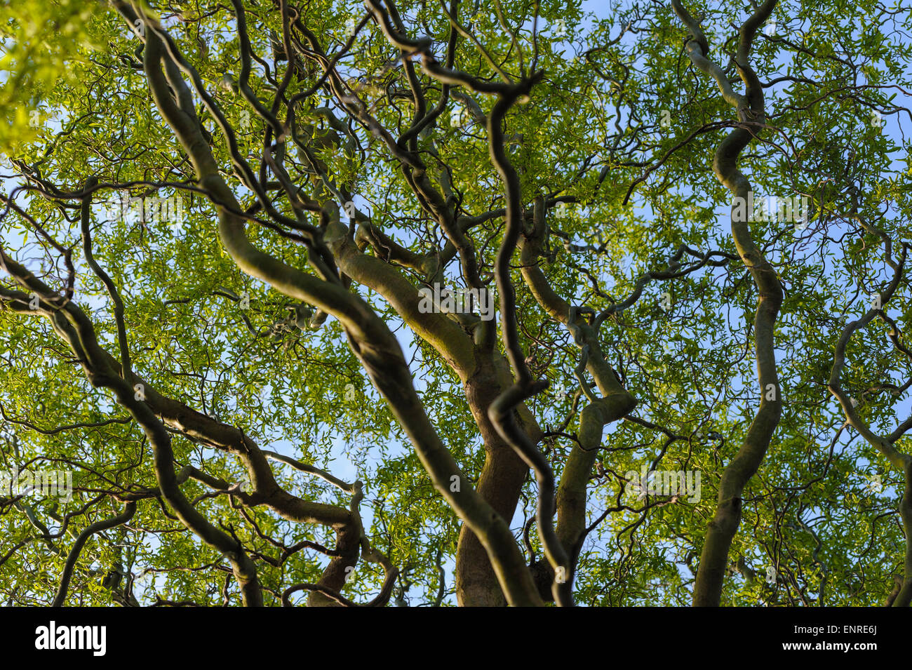 Salix Babylonia tortuosa-DRAGON /'S CLAW Willow