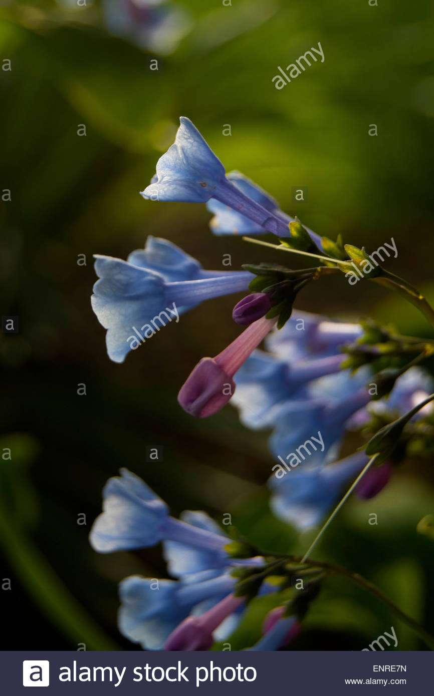 Ephemeral bulbous blue flower green background - Stock Image