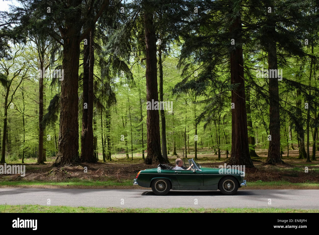 A Classic sports car driving past giant trees in the New Forest Nation Park - Stock Image