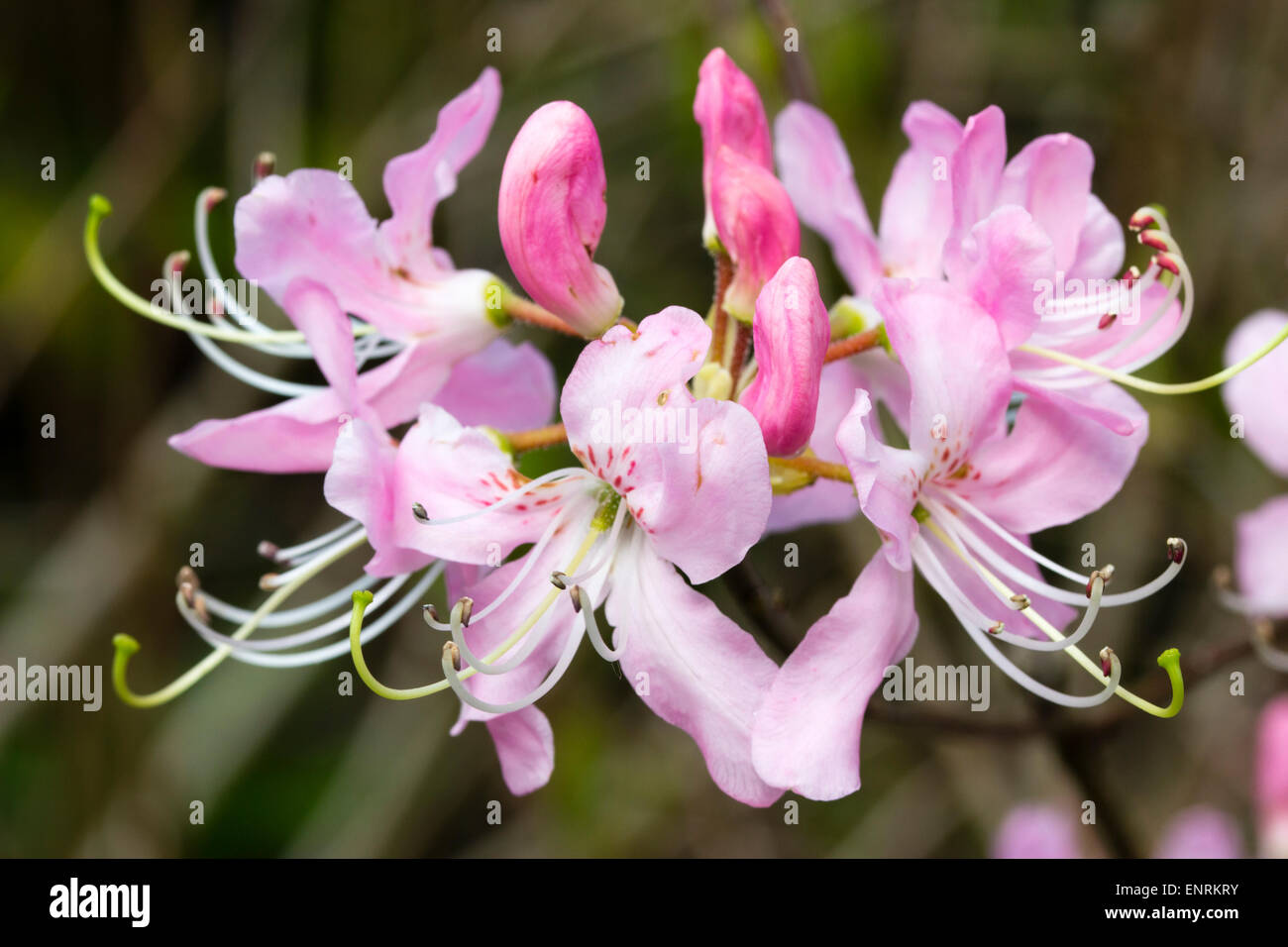 Pink spring flowers of the deciduous pinkshell azalea, Rhododendron vaseyi - Stock Image