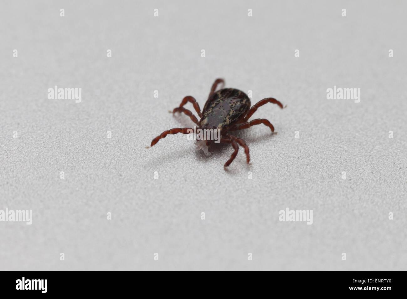 American dog tick (Dermacentor variabilis) - USA - Stock Image