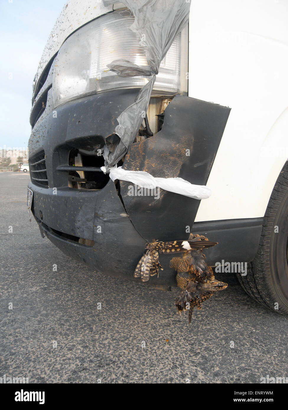 Roadkill incident involving death of Australian pheasant and substantial damage to vehicle, Pilbara region, Western - Stock Image