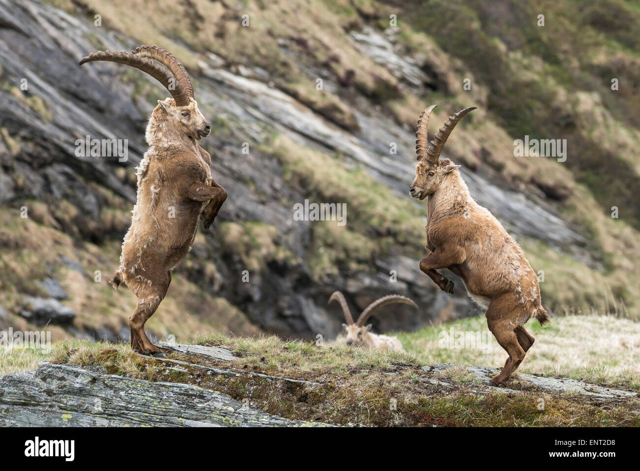 Alpine Ibexes (Capra Ibex), fighting for the dominance hierarchy, High Tauern National Park, Carinthia, Austria - Stock Image