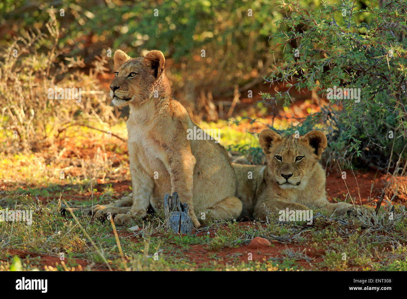 Lions (Panthera leo), two cubs, four months, siblings, Tswalu Game Reserve, Kalahari Desert, North Cape, South Africa - Stock Image