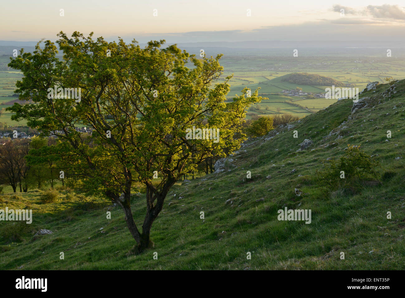 A lone Hawthorn tree on the side of a hill at Draycott Sleights, Somerset. - Stock Image