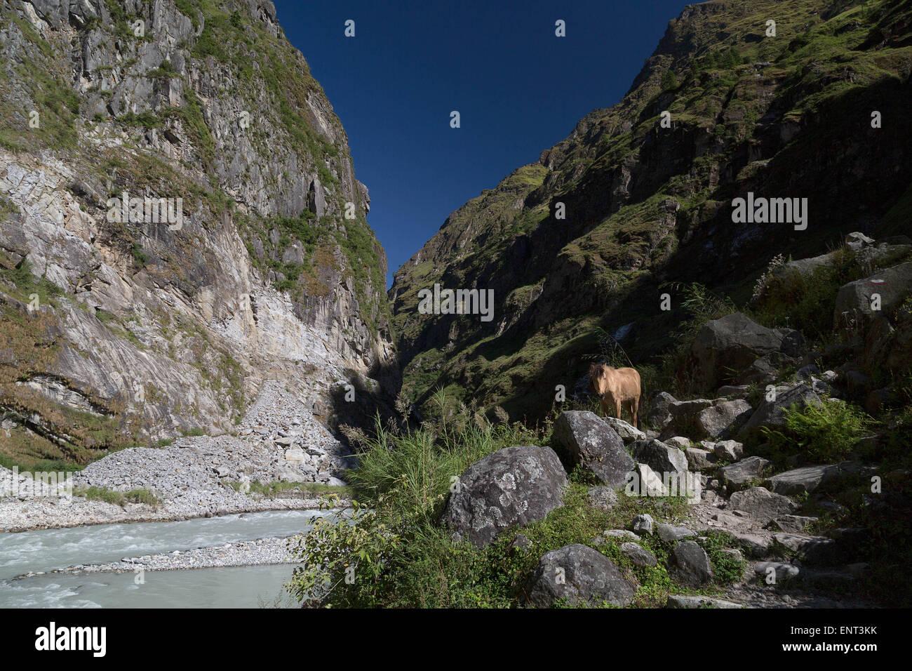 Horse on the Annapurna Circuit Trek, Nepal - Stock Image