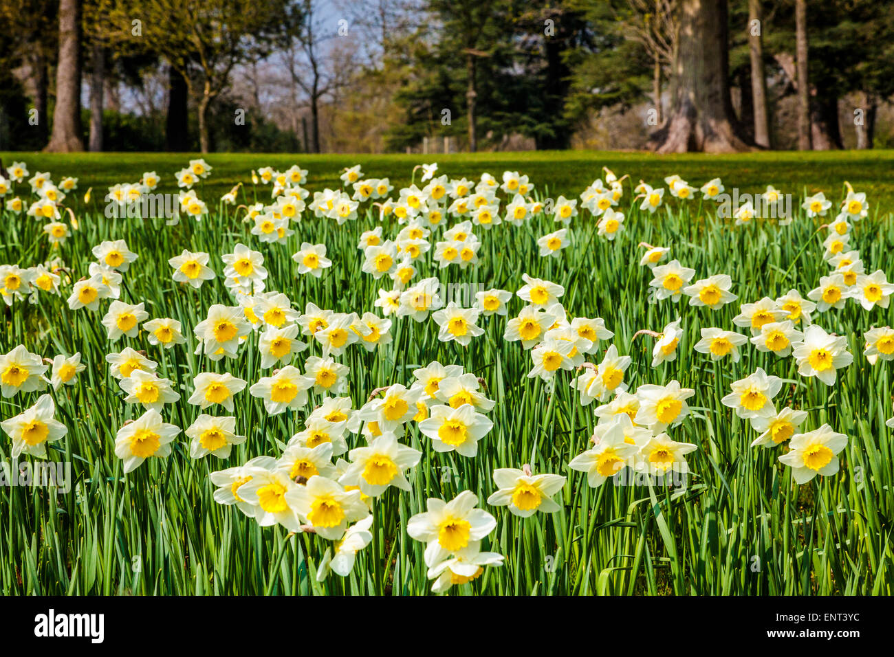 Daffodils at the Bowood Estate in Wiltshire. Stock Photo