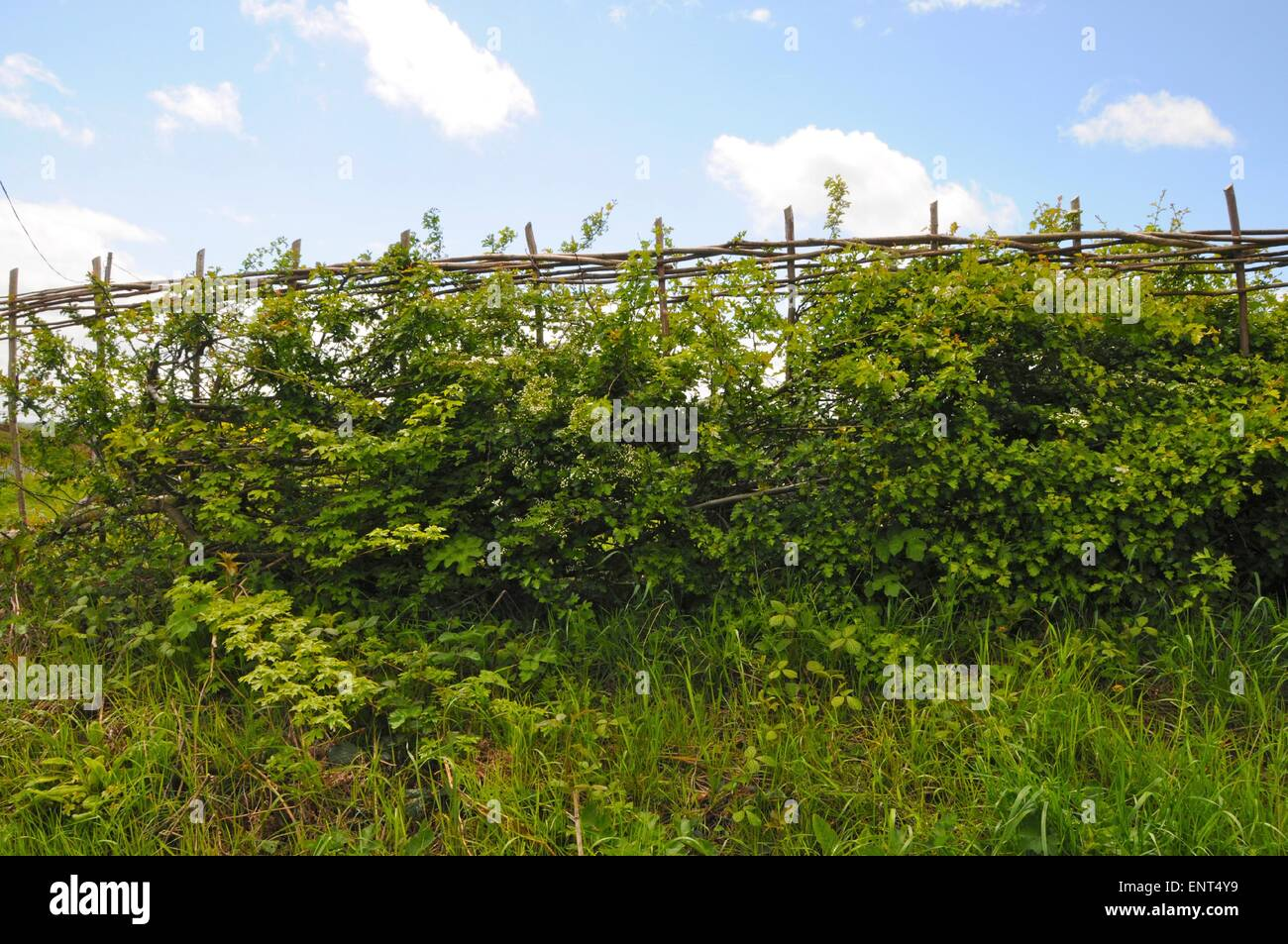 A traditionally laid hedge in Sussex branches are half-cut through and laid diagonally to produce a thick strong - Stock Image