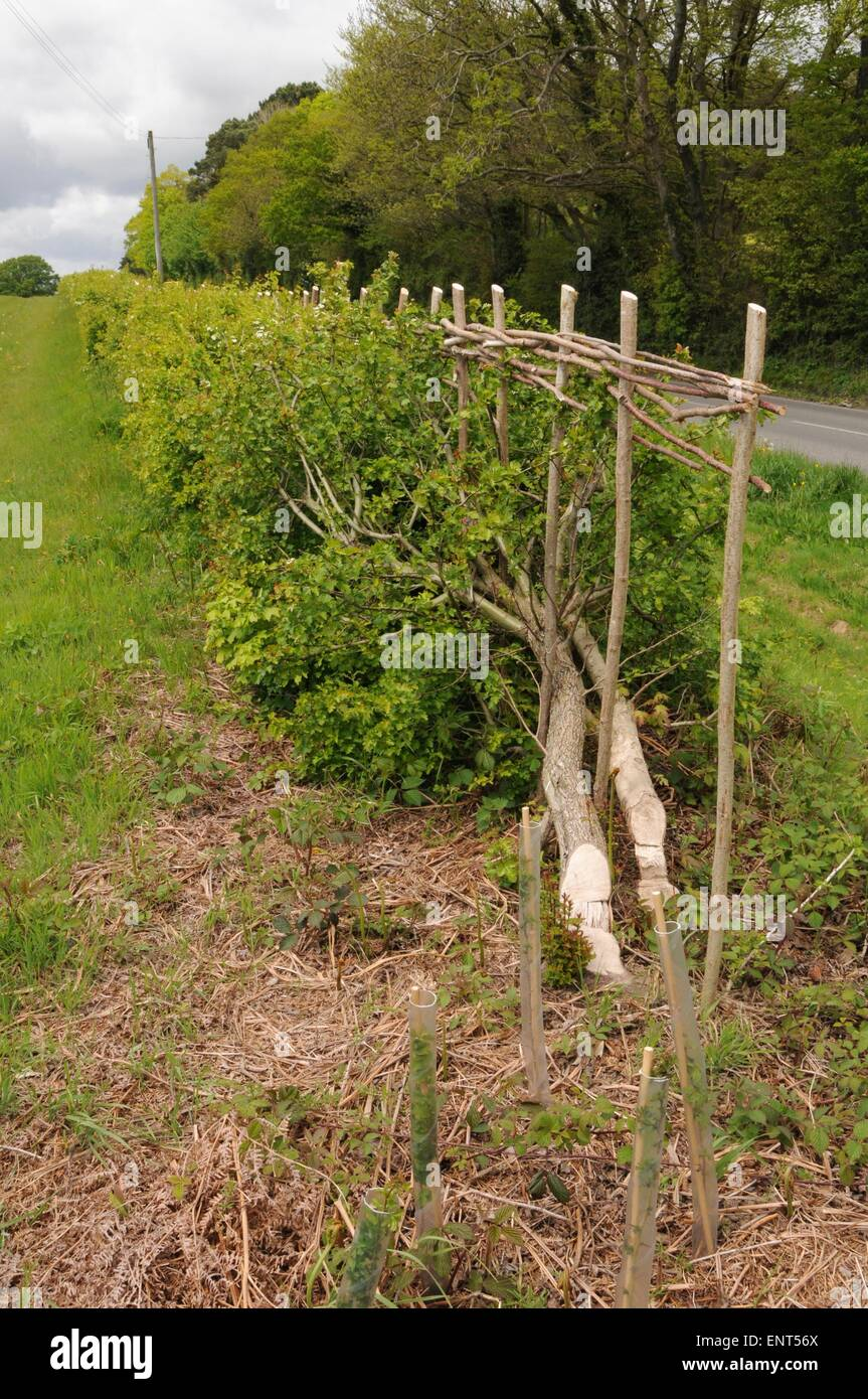 A traditionally laid hedge in Sussex - Stock Image
