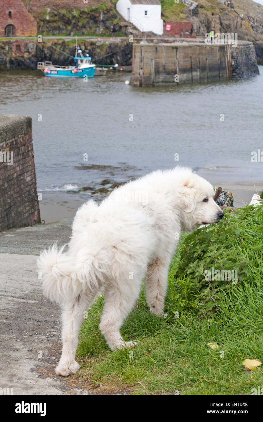Great Pyrenees Big White Snow Dog