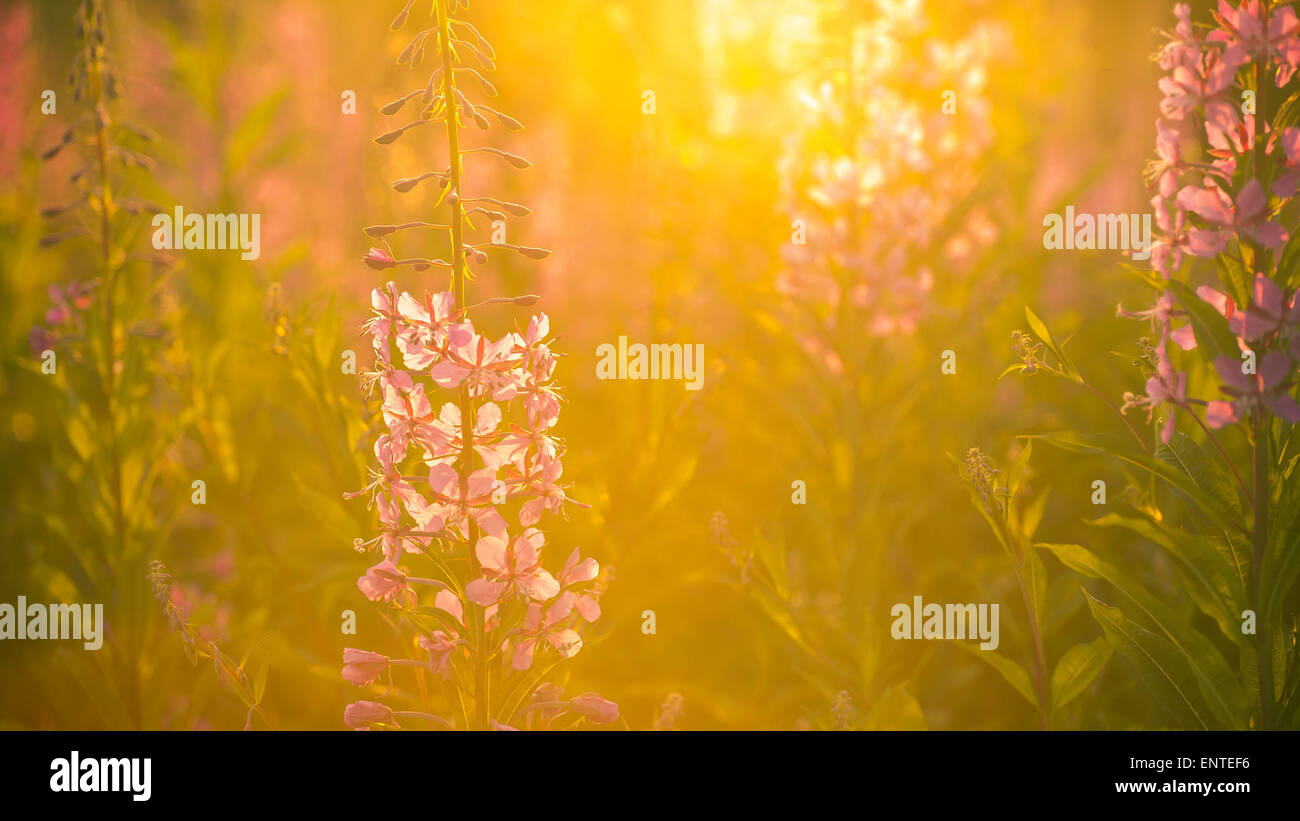 Rosebay Willowherb flowers backlit by sunlight growing wild in a meadow in the Galloway Forest Park, Scotland, UK Stock Photo
