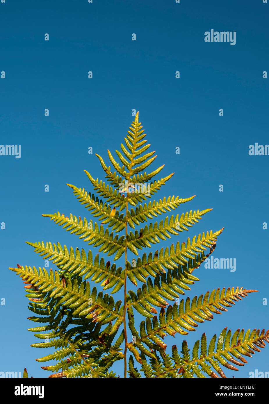 Bracken leaf against a blue sky, UK - Stock Image
