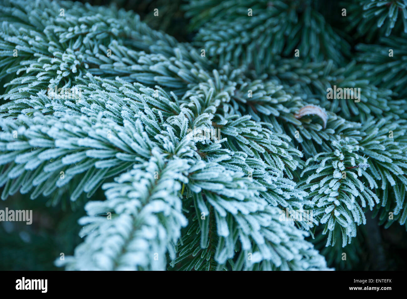 Close-up of a Sitka spruce fir tree branch covered in frost in winter, UK - Stock Image