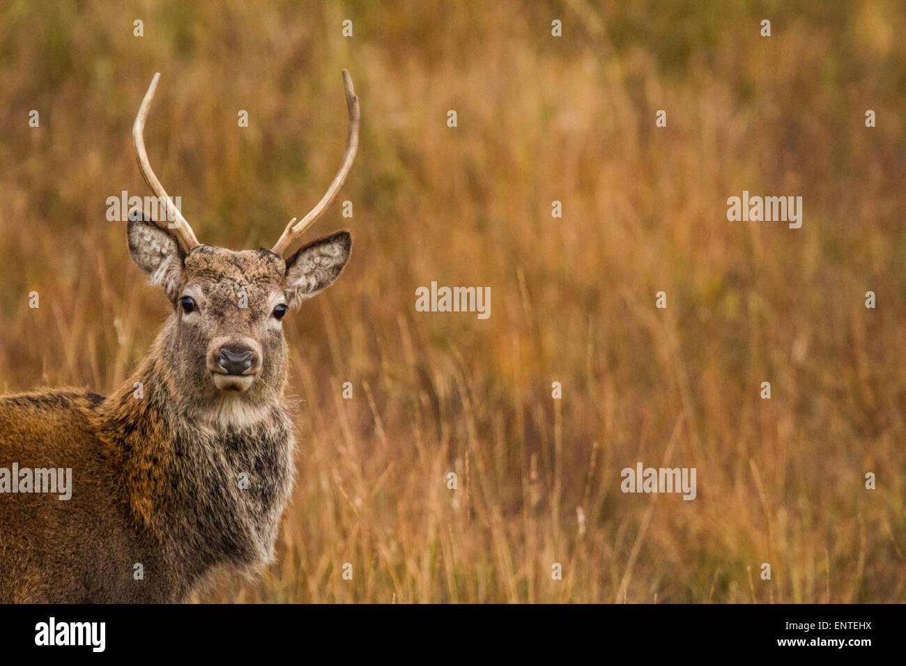 Red Deer stag (Cervus elaphus) in the Scottish Highlands, Inverness-shire, Scotland, UK looking at camera, close - Stock Image