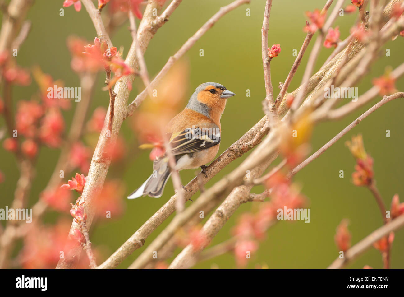 Close up of a Chaffinch (Fringilla coelebs) bird sitting in a cherry tree in the spring season, UK - Stock Image