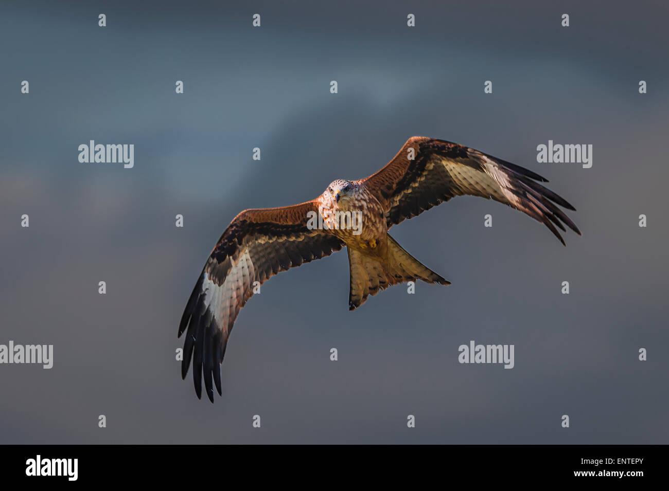 Red Kite (Milvus milvus), Dumfries and Galloway, Scotland, UK - bird flying, raptor, falcon, hawk - Stock Image