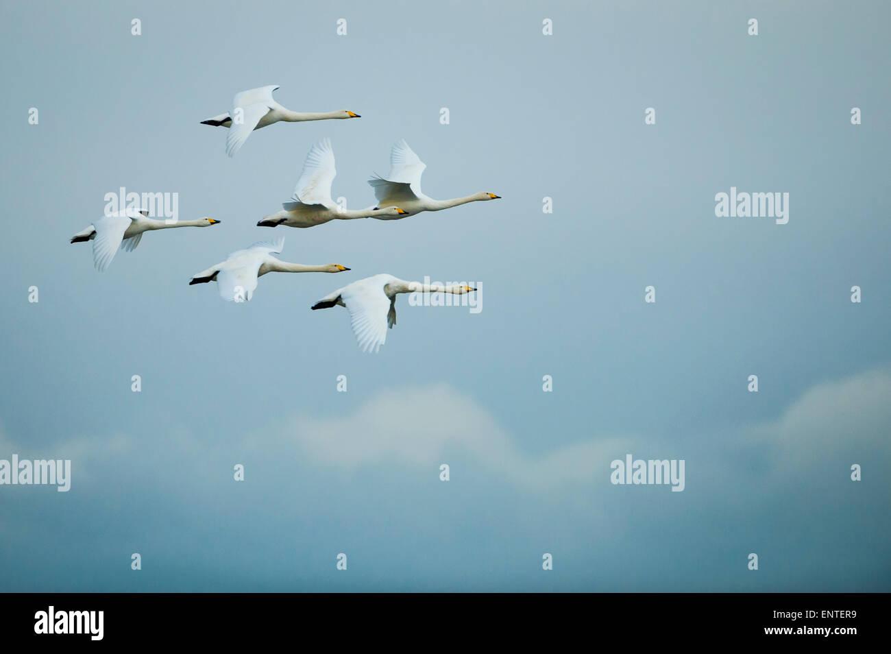 Six Whooper Swans (Cygnus cygnus) in flight, Ayrshire, Scotland, UK. Stock Photo