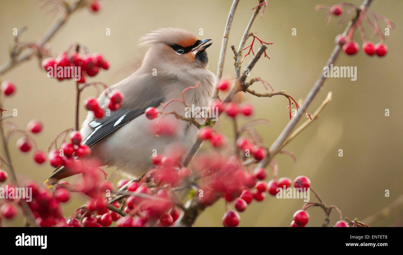 Waxwing (Bombycilla garrulus) feeding in the Galloway Forest Park, Scotland, UK in autumn / winter - Stock Image