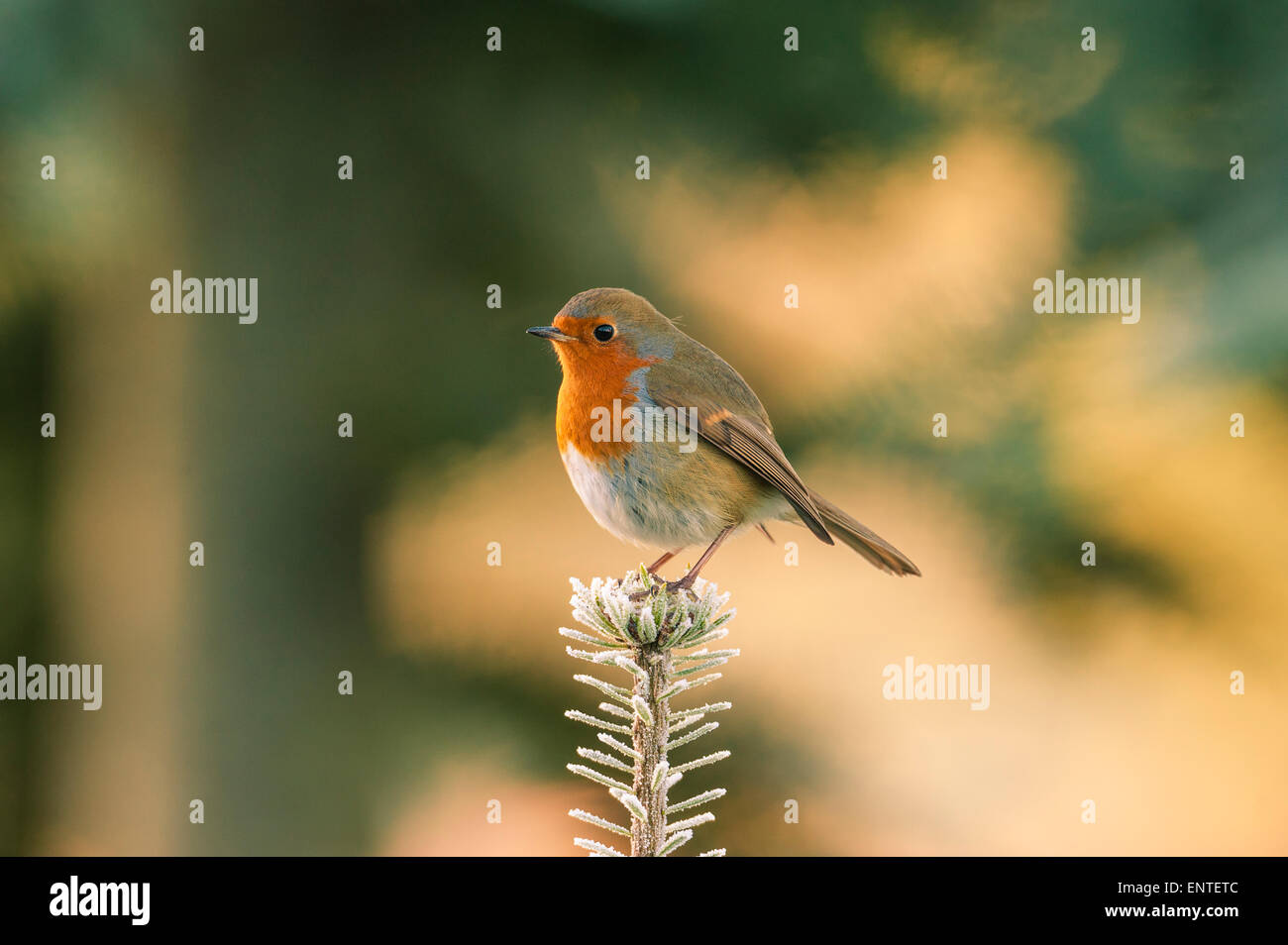 Robin, (Erithacus rubecula), standing on top of a branch in winter, UK - Stock Image