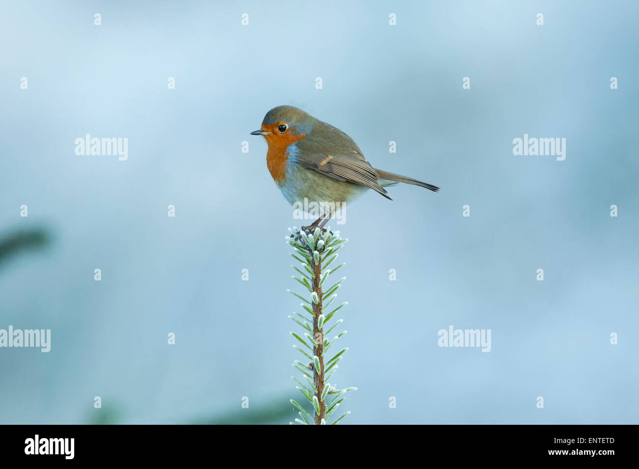 Portrait of a Robin (Erithacus rubecula) sits on the top branch of a Sitka Christmas Tree, UK in winter - Stock Image
