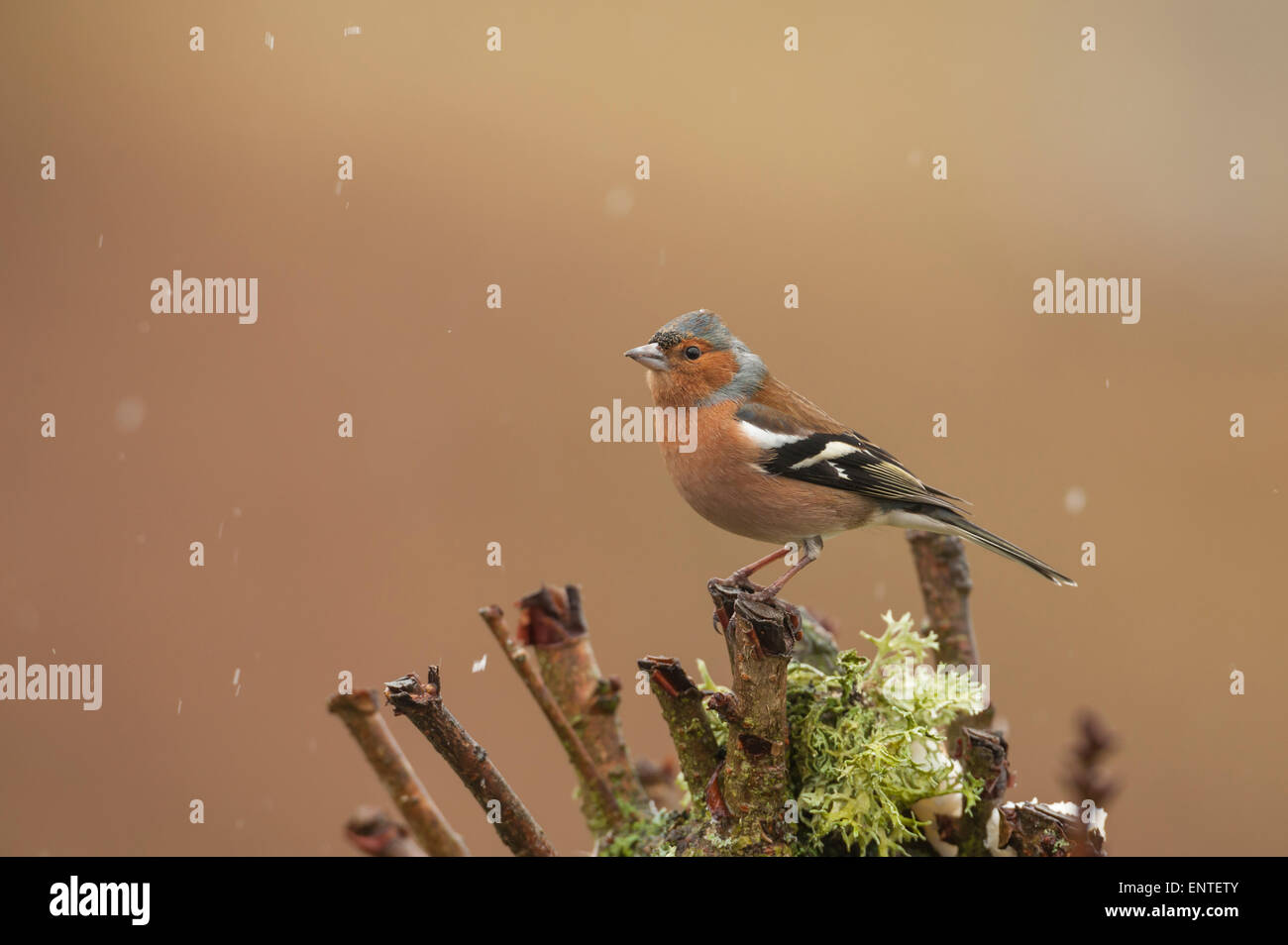Chaffinch (Fringilla coelebs) in the snow, UK - Stock Image