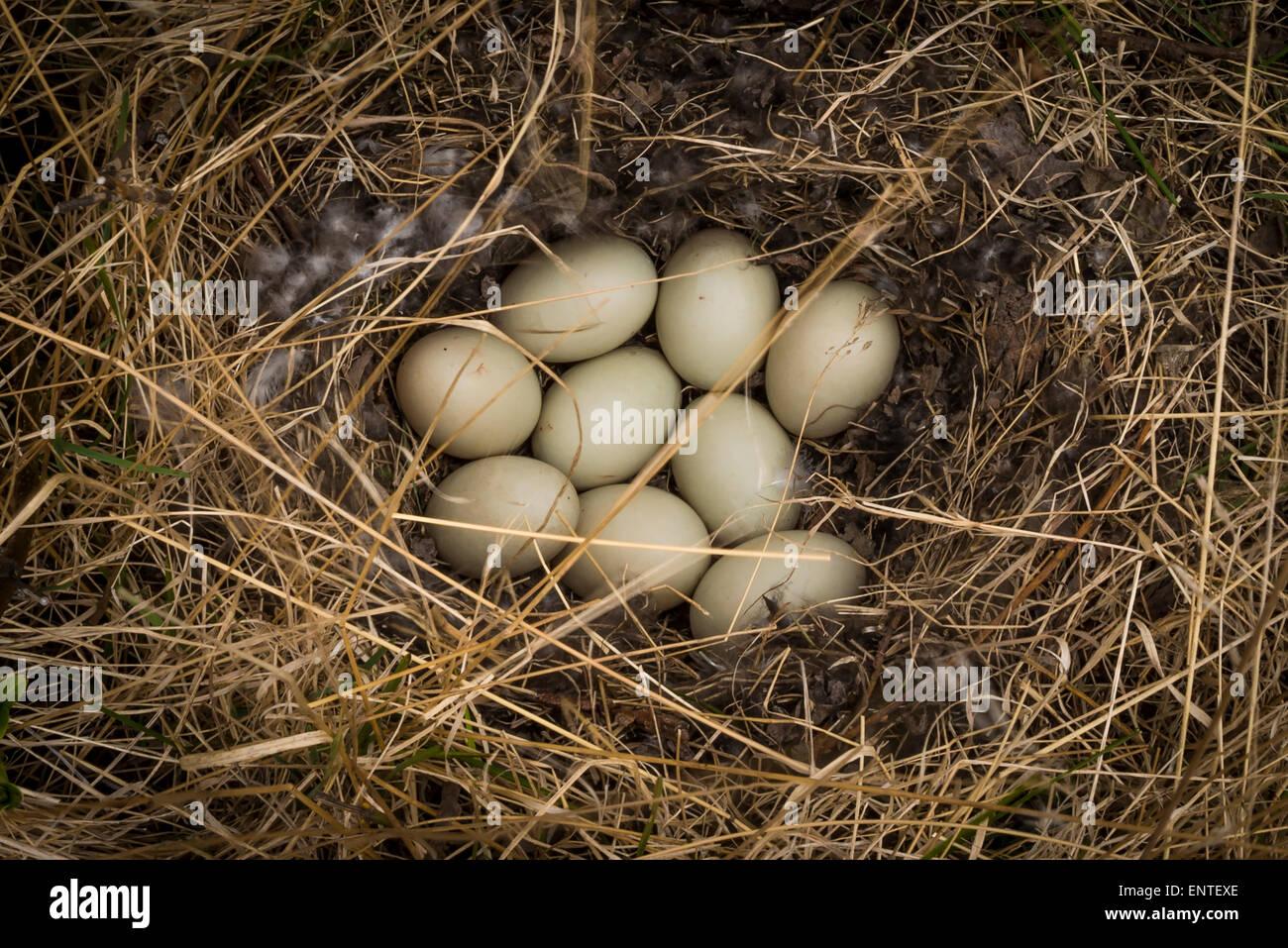 Nest full of duck eggs - Stock Image