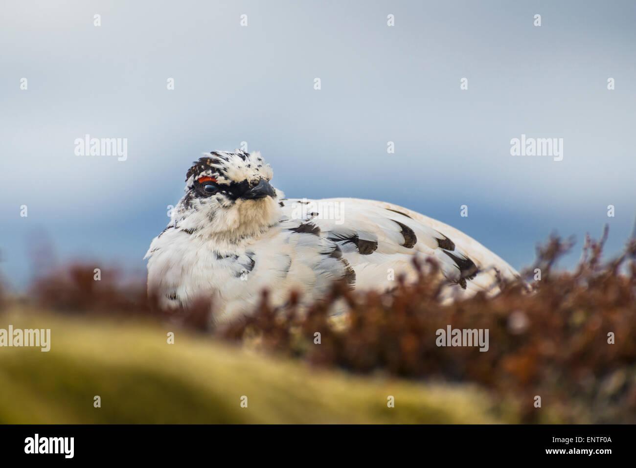 Ptarmigan bird (Lagopus mutus) in Iceland - Stock Image