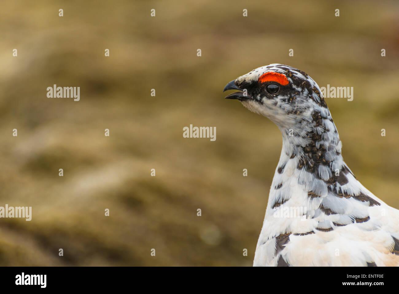 Ptarmigan (Lagopus mutus) in Iceland - Stock Image