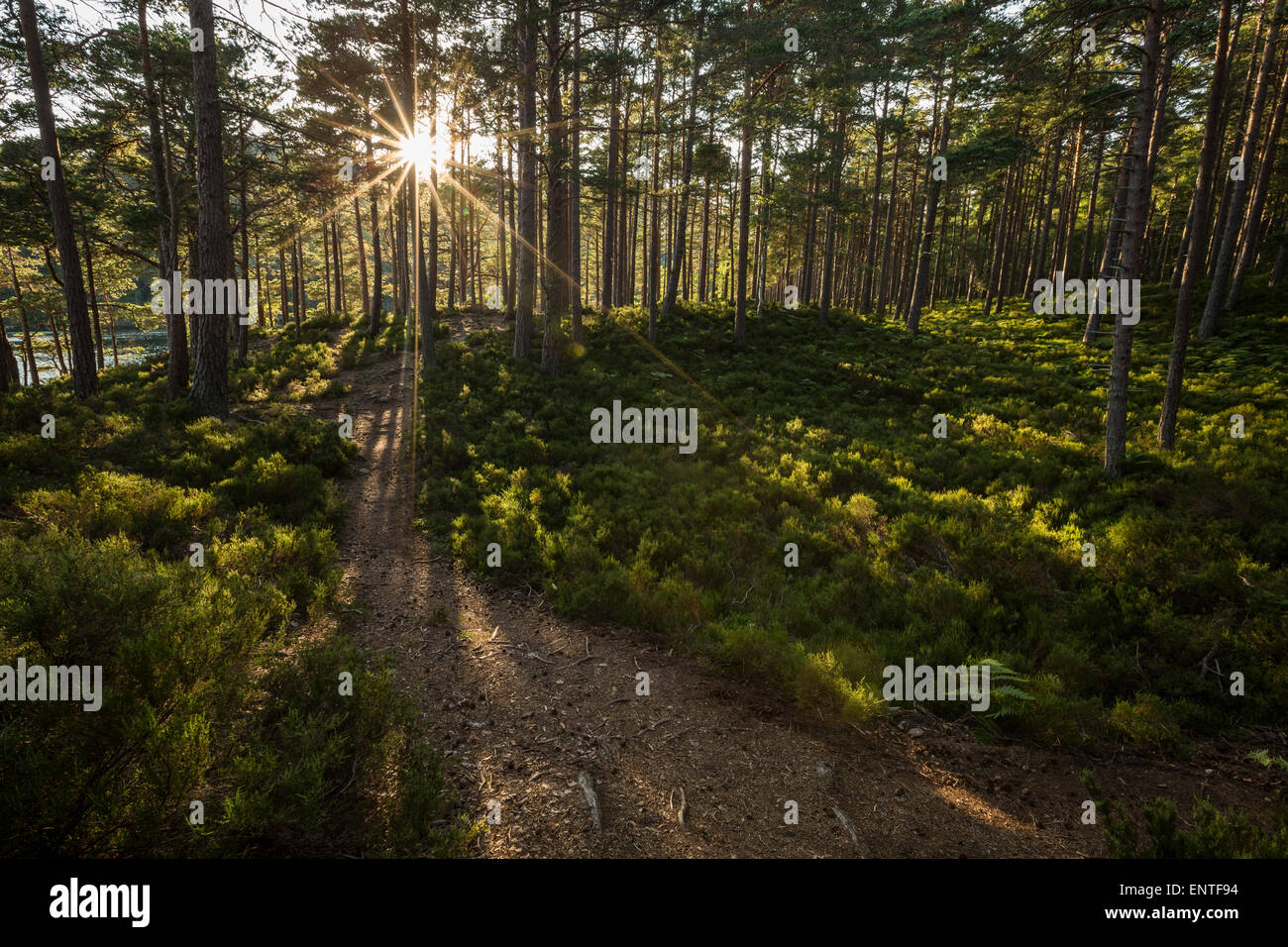 Forest Pathin with sun rays and sunshine in Rothiemurchus Forest near Loch An Eilein, Cairngorms National Park, - Stock Image
