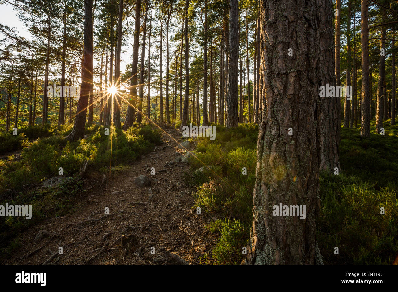 Beautiful forest path in Rothiemurchus Forest, Cairngorms National Park, Highlands of Scotland, UK - Stock Image