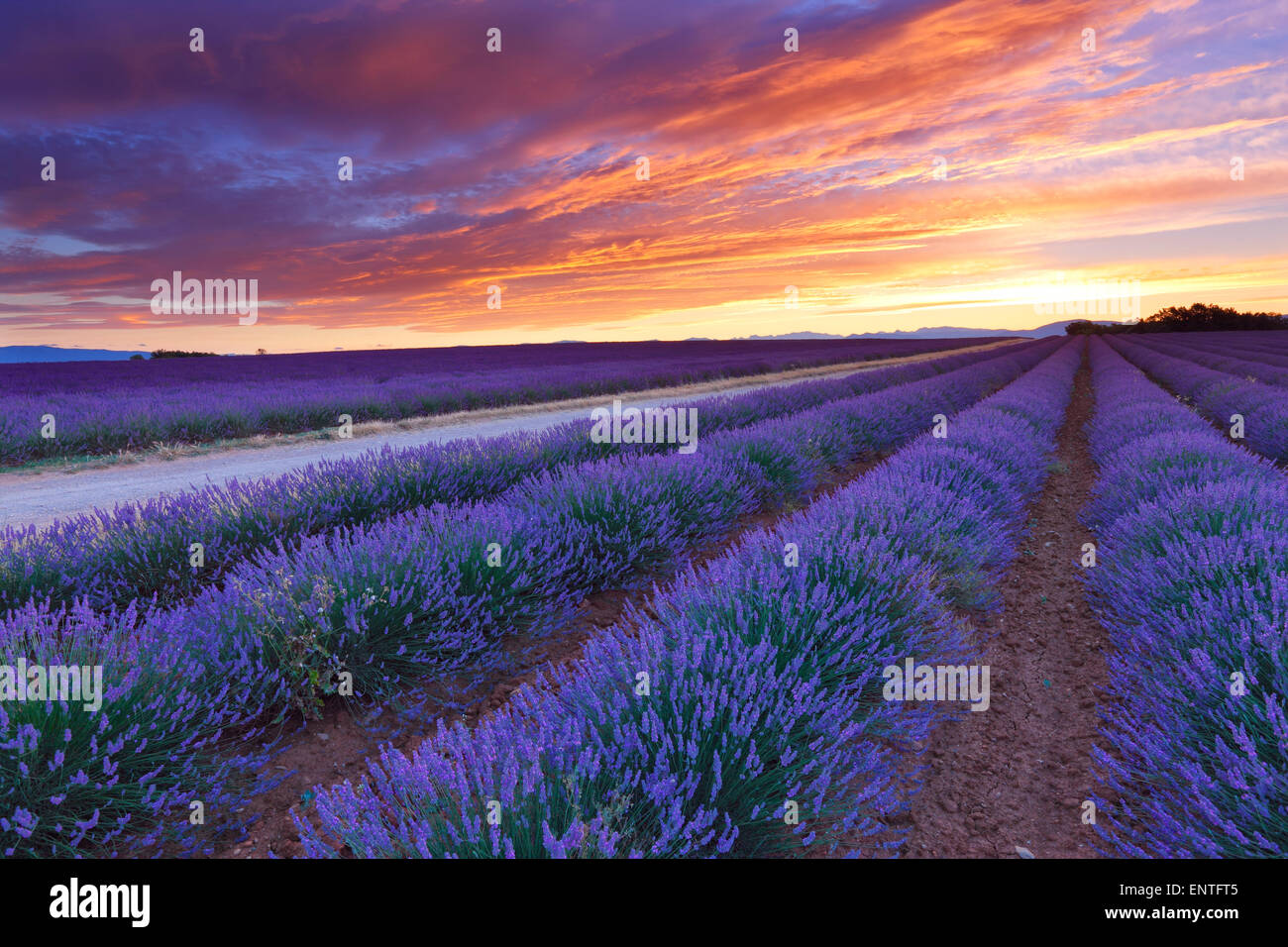 Sunrise over lavender field in Valensole, Provence, France - Stock Image