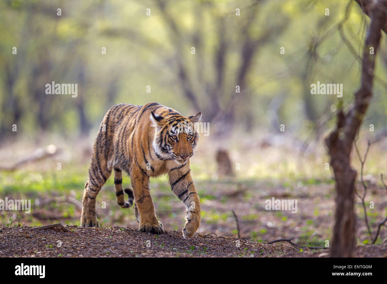A 13 month old Tiger walking near rajbaug area at Ranthambhore Forest. [Panthera Tigris] - Stock Image