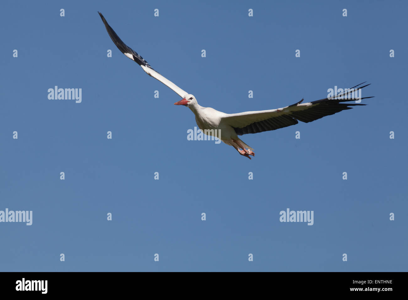 European White Stork (Ciconia ciconia). Flying. Flight. Fly. Stock Photo