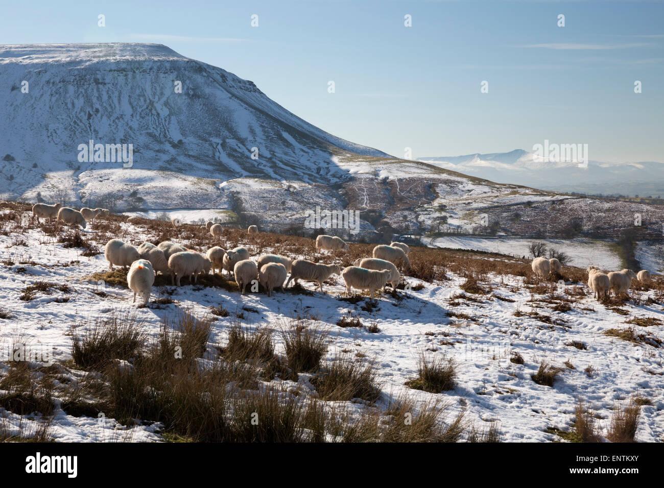 Grazing livestock below Hay Bluff with view to Pen y Fan peak - Stock Image