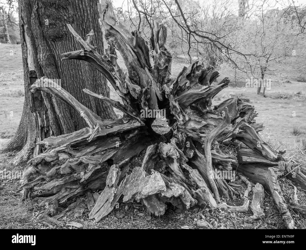 Fallen oak tree root in black and white - Stock Image